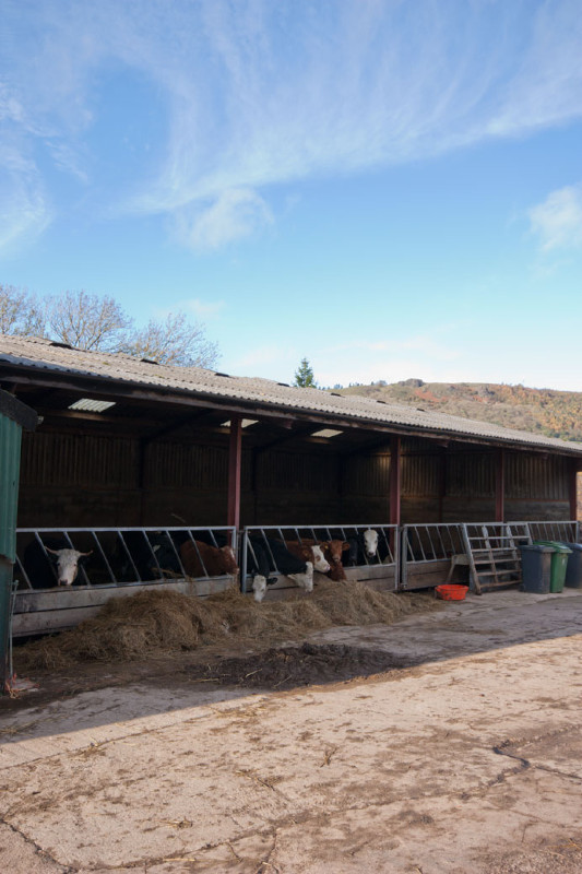 simply-the_dairy_cottage_cows